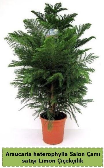 Salon Çamı Satışı Araucaria heterophylla  Bursa güvenli kaliteli hızlı çiçek