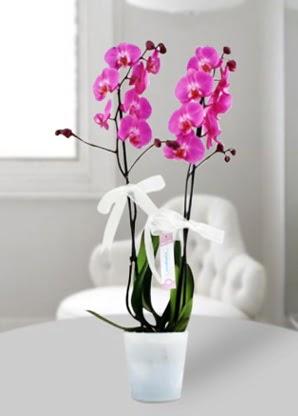 Çift dallı mor orkide  Bursa çiçek gönderme