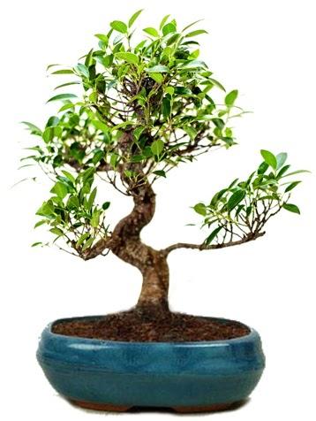 25 cm ile 30 cm aralığında Ficus S bonsai  Bursa çiçek online çiçek siparişi