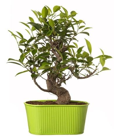 Ficus S gövdeli muhteşem bonsai  Bursa çiçek gönderme sitemiz güvenlidir