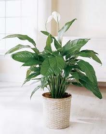 Bursa çiçek , çiçekçi , çiçekçilik  spatilyum ithal büyük boy