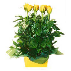 11 adet sari gül aranjmani  Bursa 14 şubat sevgililer günü çiçek