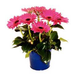 vazo içerisinde gerbera çiçekleri   Bursa çiçek , çiçekçi , çiçekçilik