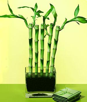 Bursa internetten çiçek satışı  Good Harmony Lucky Bamboo camda