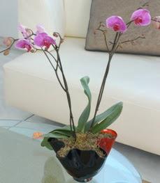 Bursa İnternetten çiçek siparişi  tek dal ikili orkide saksi çiçegi