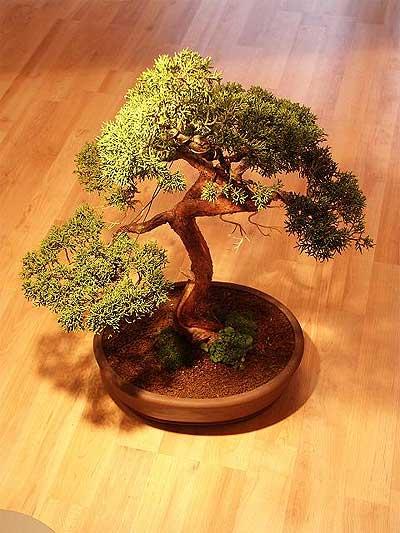 ithal bonsai saksi çiçegi  Bursa online çiçek gönderme sipariş