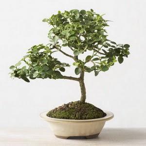 ithal bonsai saksi çiçegi  Bursa internetten çiçek siparişi