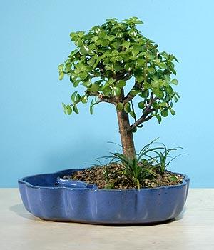 ithal bonsai saksi çiçegi  Bursa çiçek gönderme