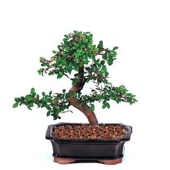 ithal bonsai saksi çiçegi  Bursa çiçek satışı