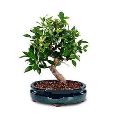 ithal bonsai saksi çiçegi  Bursa çiçek gönderme sitemiz güvenlidir