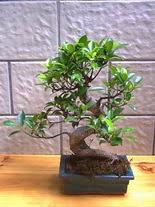 ithal bonsai saksi çiçegi  Bursa çiçekçiler