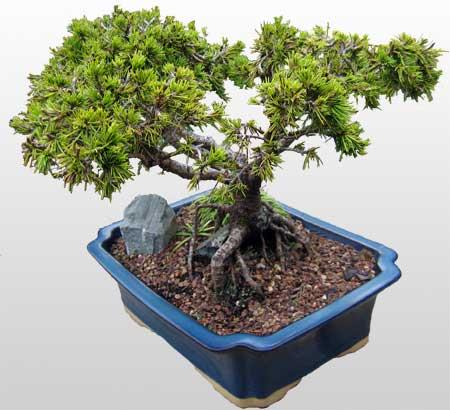 ithal bonsai saksi çiçegi  Bursa İnternetten çiçek siparişi