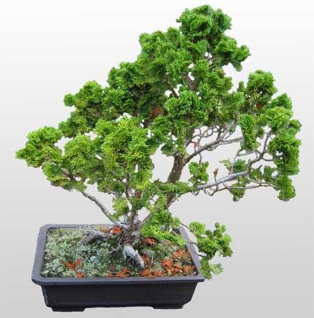 ithal bonsai saksi çiçegi  Bursa hediye sevgilime hediye çiçek