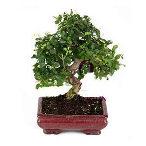ithal bonsai saksi çiçegi  Bursa internetten çiçek satışı