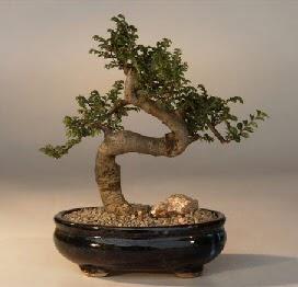 ithal bonsai saksi çiçegi  Bursa çiçek siparişi sitesi