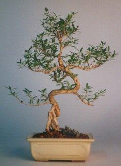 Bursa güvenli kaliteli hızlı çiçek  ithal bonsai saksi çiçegi  Bursa çiçek satışı