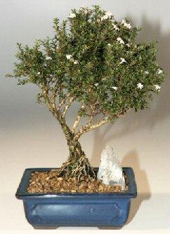 Bursa yurtiçi ve yurtdışı çiçek siparişi  ithal bonsai saksi çiçegi  Bursa çiçek , çiçekçi , çiçekçilik