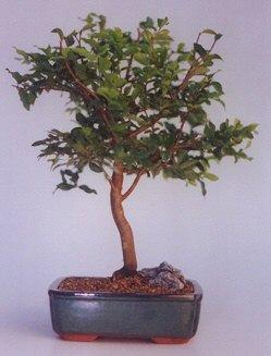 Bursa online çiçekçi , çiçek siparişi  ithal bonsai saksi çiçegi  Bursa internetten çiçek satışı