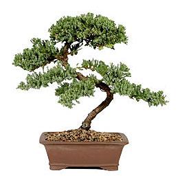 ithal bonsai saksi çiçegi  Bursa çiçek online çiçek siparişi