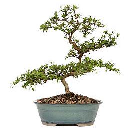 Bursa hediye sevgilime hediye çiçek  ithal bonsai saksi çiçegi  Bursa çiçek online çiçek siparişi