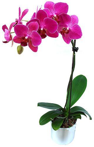 Bursa İnternetten çiçek siparişi  saksi orkide çiçegi