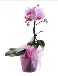 1 dal pembe orkide saksı çiçeği  Bursa cicek , cicekci