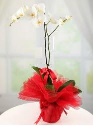 1 dal beyaz orkide saksı çiçeği  Bursa uluslararası çiçek gönderme