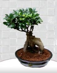 saksı çiçeği japon ağacı bonsai  Bursa cicek , cicekci