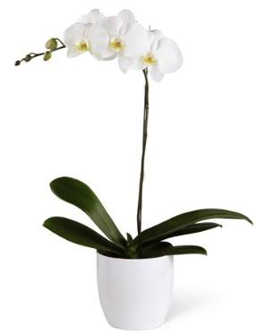 1 dallı beyaz orkide  Bursa çiçek siparişi sitesi