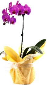 Bursa çiçek gönderme sitemiz güvenlidir  Tek dal mor orkide saksı çiçeği