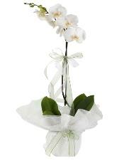 1 dal beyaz orkide çiçeği  Bursa çiçek satışı
