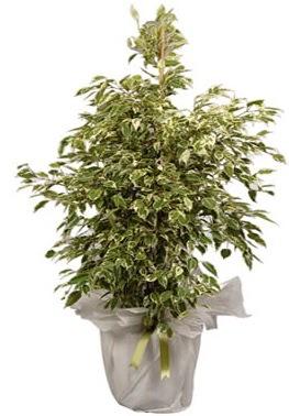 Orta boy alaca benjamin bitkisi  Bursa çiçek yolla