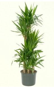7 li yucca saksı bitkisi  Bursa çiçek siparişi vermek