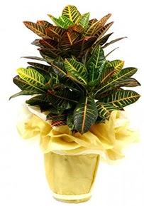 Orta boy kraton saksı çiçeği  Bursa çiçek siparişi sitesi