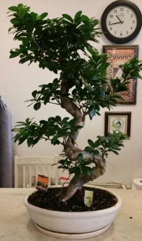 100 cm yüksekliğinde dev bonsai japon ağacı  Bursa hediye sevgilime hediye çiçek