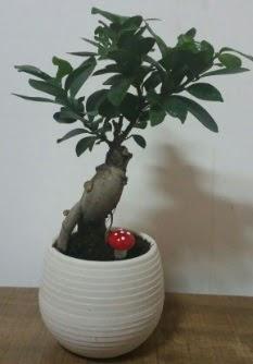 Bonsai japon ağacı saksı çiçeği  Bursa çiçek online çiçek siparişi