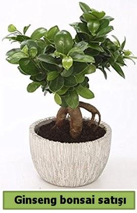 Ginseng bonsai japon ağacı satışı  Bursa kaliteli taze ve ucuz çiçekler