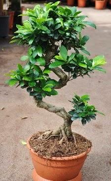Orta boy bonsai saksı bitkisi  Bursa çiçekçi telefonları