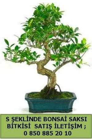 İthal S şeklinde dal eğriliği bonsai satışı  Bursa çiçek mağazası , çiçekçi adresleri