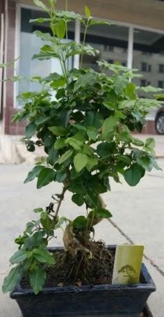 Bonsai japon ağacı saksı bitkisi  Bursa çiçek satışı