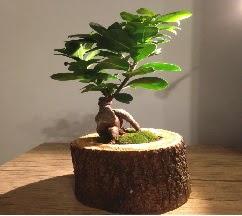 Doğal kütükte Bonsai japon ağacı satışı  Bursa çiçek yolla