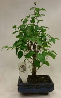 Minyatür bonsai japon ağacı satışı  Bursa kaliteli taze ve ucuz çiçekler