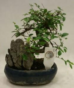 İthal 1.ci kalite bonsai japon ağacı  Bursa güvenli kaliteli hızlı çiçek