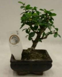 Küçük minyatür bonsai japon ağacı  Bursa çiçek mağazası , çiçekçi adresleri