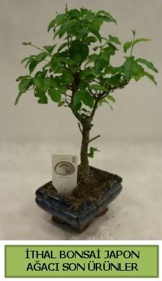İthal bonsai japon ağacı bitkisi  Bursa çiçekçiler