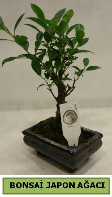 Bonsai japon ağacı saksı bitkisi  Bursa çiçek siparişi vermek