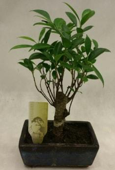 Japon ağacı bonsai bitkisi satışı  Bursa kaliteli taze ve ucuz çiçekler