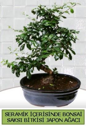Seramik vazoda bonsai japon ağacı bitkisi  Bursa çiçek gönderme sitemiz güvenlidir