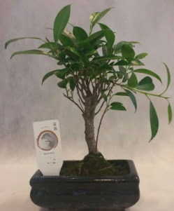 Bonsai japon ağacı bitkisi satışı  Bursa çiçek online çiçek siparişi