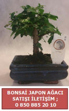 Japon ağacı minyaür bonsai satışı  Bursa güvenli kaliteli hızlı çiçek